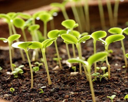 подкормка рассады азотными удобрениями