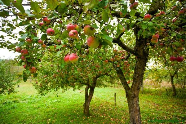 Плодовый сад на даче