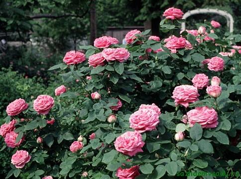 ремонтантные розы