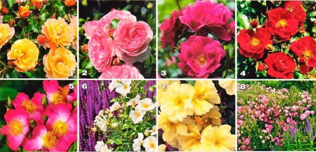 Наилучшие розы для легкого в уходе сада