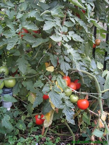 что любят томаты