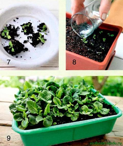 Примула садовая выращивание из семян Коллекция изображений