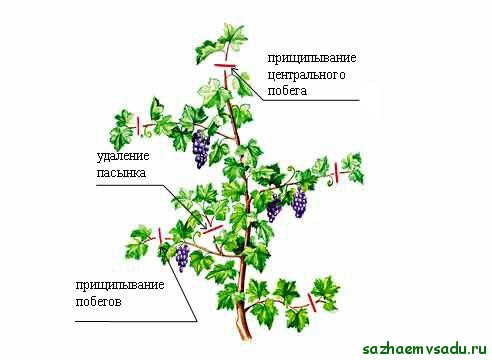прищипка винограда