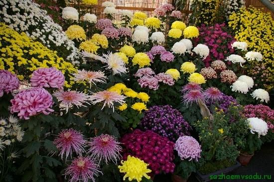 Чтобы хризантемы пышно цвели