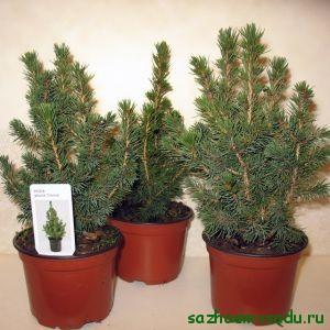 Выращивание хвойных деревьев в доме