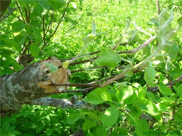 Прививка яблони за кору