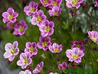 Камнеломка теневая (Saxifrage urbium)