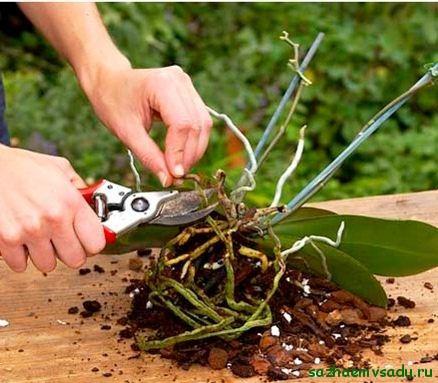 Когда нужно пересадить орхидею
