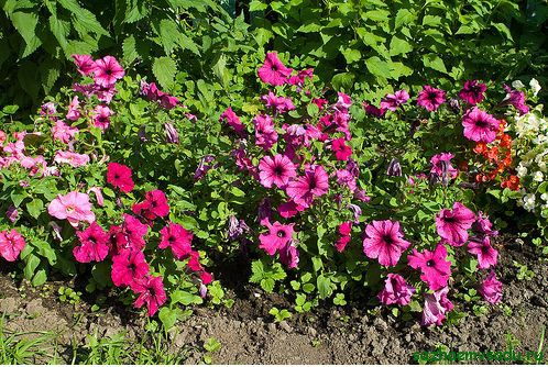 Цветы петуния