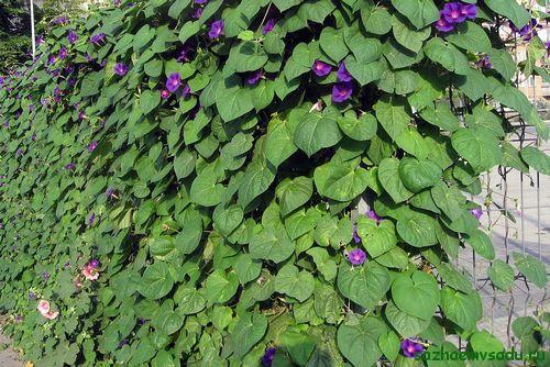 Живая изгородь из вьющихся растений