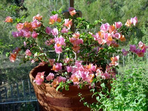 цветок бугенвиллея