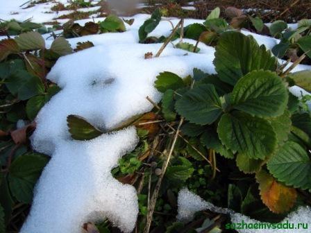 как укрывать клубнику на зиму