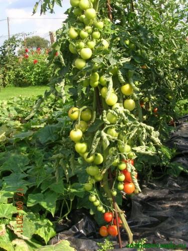 способ выращивания помидоров