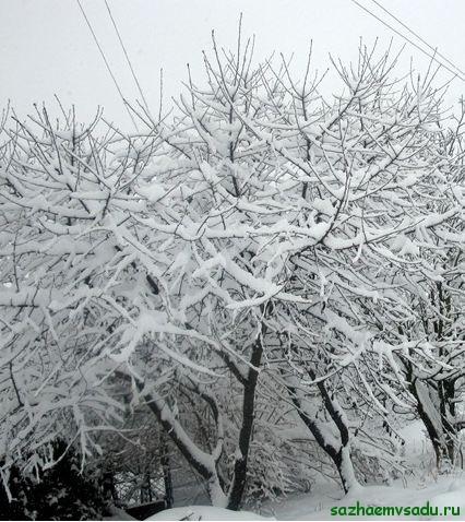 Чем укрывать вишню на зиму