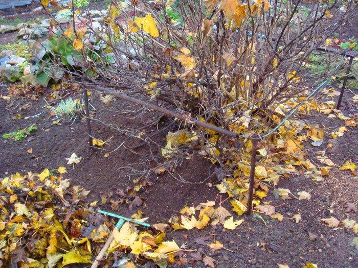 Уборка листвы из-под крыжовника