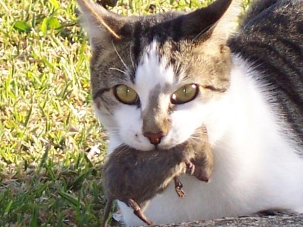 Кот с мышью в зубах