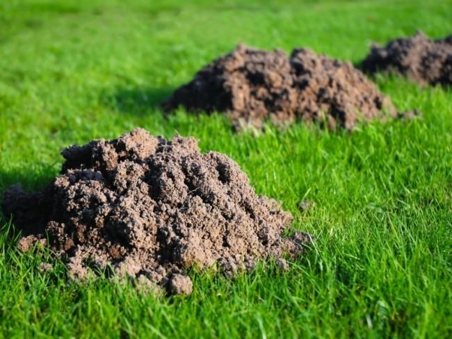 Кротовые холмики на газоне