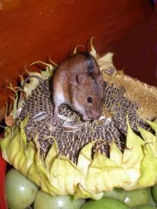 Мышь на подсолнухе