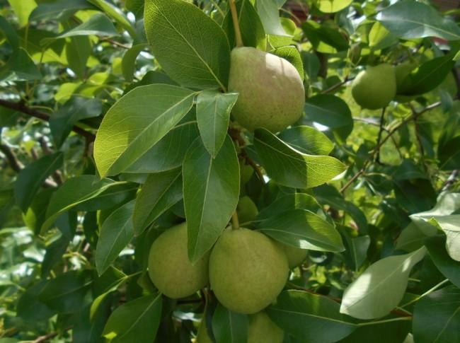 плоды августовской росы