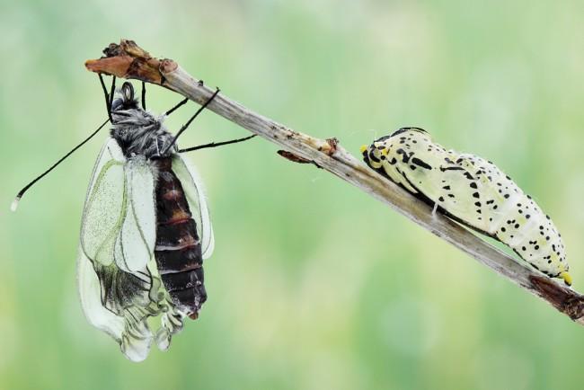 Боярышница — гусеница и бабочка