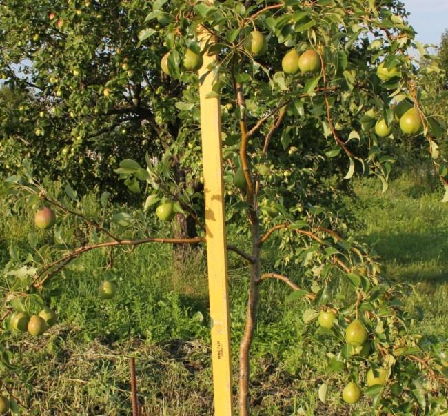 дерево груши Августовскаяроса
