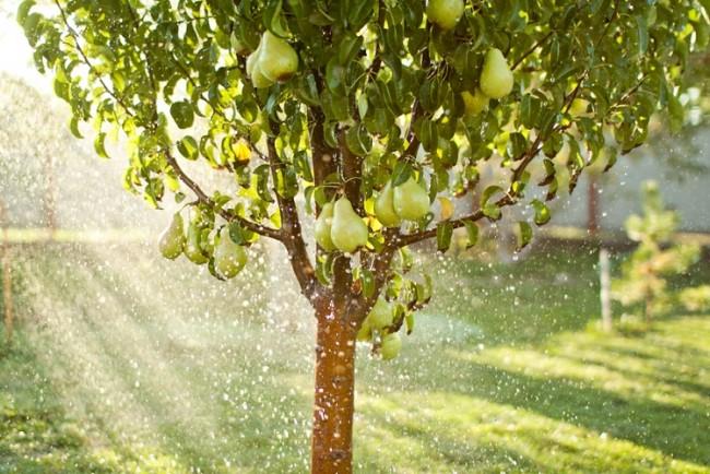 Дождевание груши на садовом участке