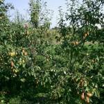 Дерево грушиТалгарская красавица
