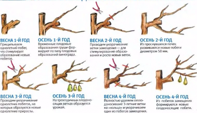 Обрезка плодовых ветвей груши