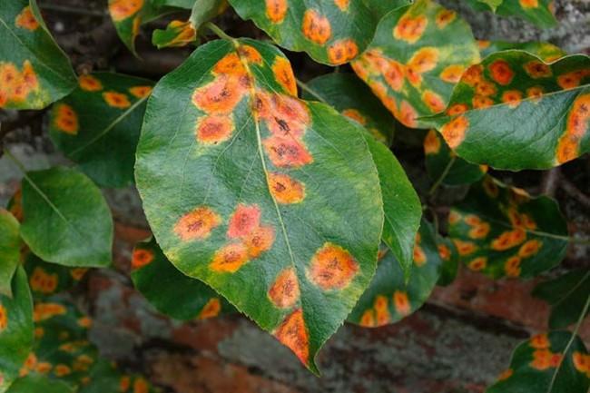 Оранжевые пятна на листьях