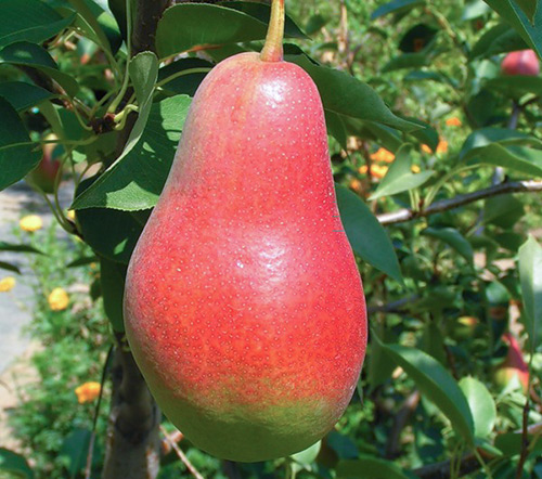 Плод груши Талгарская красавица