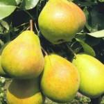 Плоды груши под солнцем