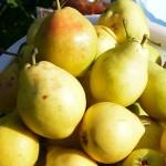 Собранный урожай груш