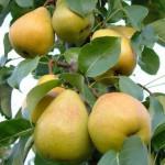 Урожай груш на ветке