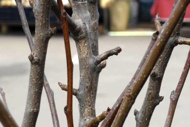 Ветви груши Русская красавица