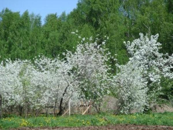 Цветущие кусты вишни Владимирская