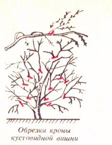 Обрезка кустовой вишни