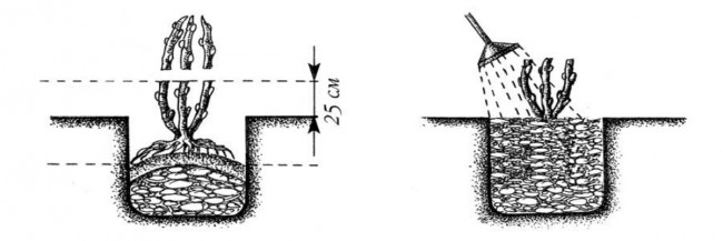 Схема посадки ежевики