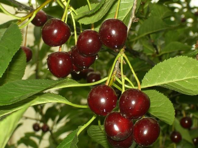 Сорт вишни Шоколадница