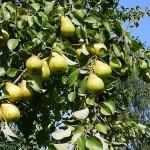 Груши на дереве