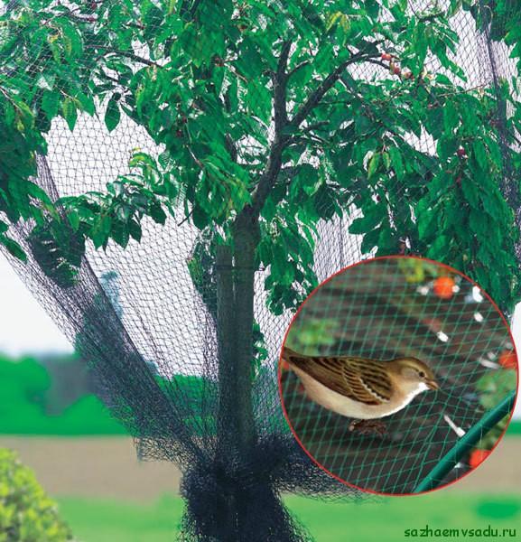 защита черешни от птиц