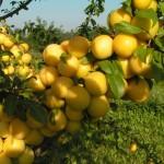 Алыча Павловская жёлтая