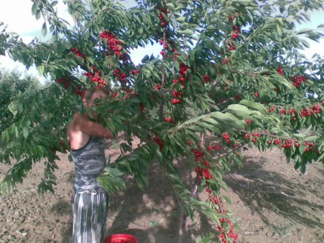 Дерево черешни с плодами