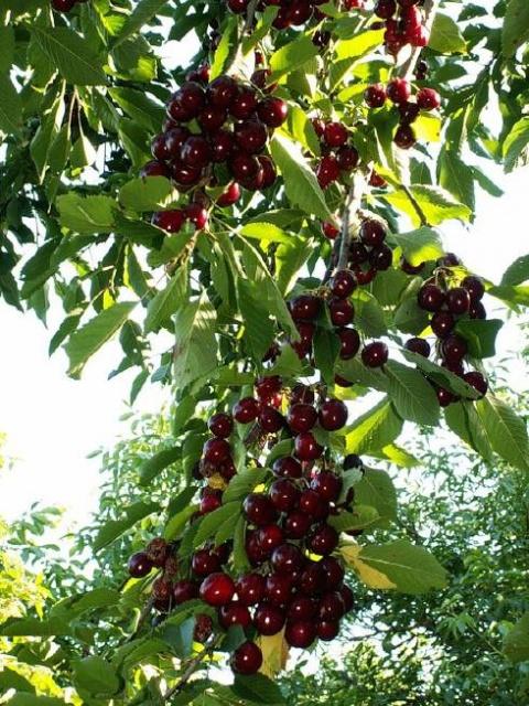 Грозди черешни на дереве