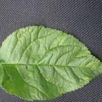 Хлоротическая пятнистость листьев
