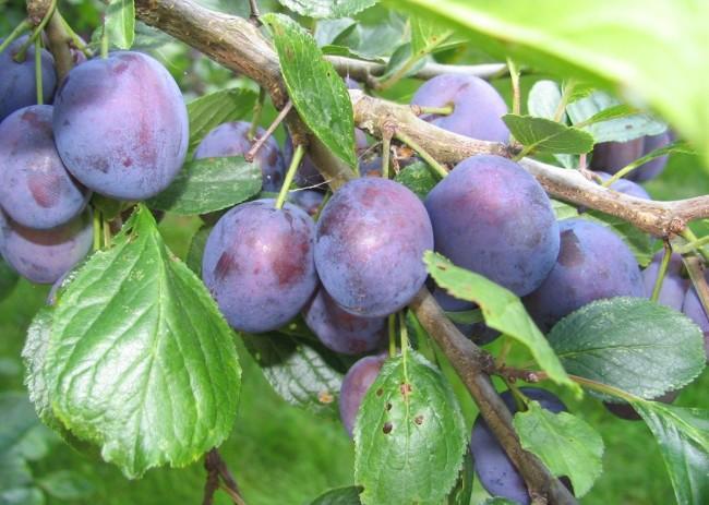 плоды Волжской красавицы