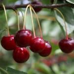 Сорт вишни Гриот Мичуринский