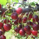 Сорт вишни Лебедянская
