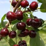 Сорт вишни Жуковская