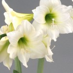 амариллис White Baby