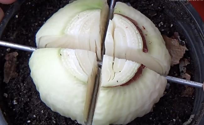 деление луковицы